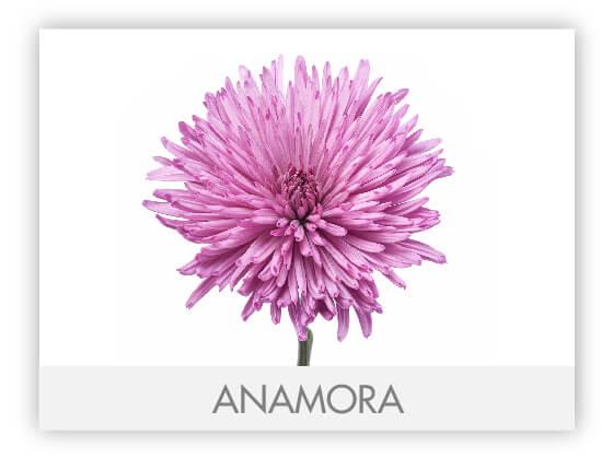 ANAMORA10