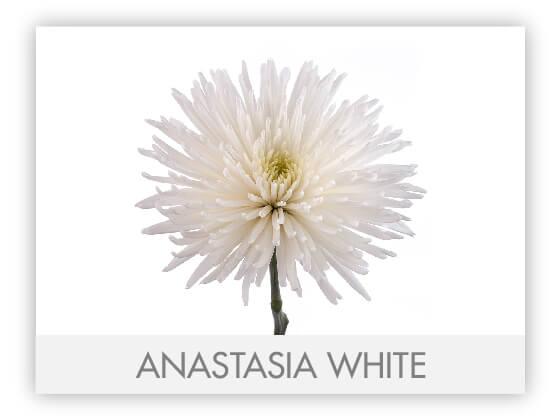 ANASTASIA WHITE10