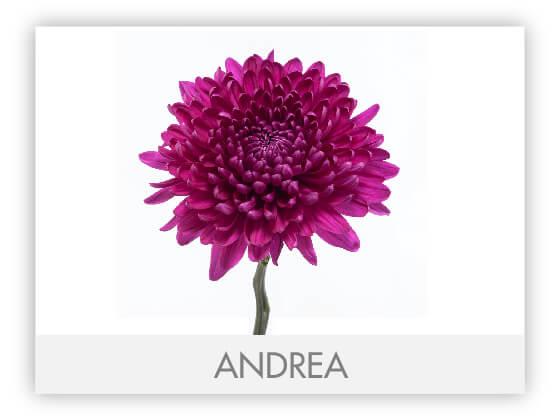 ANDREA10