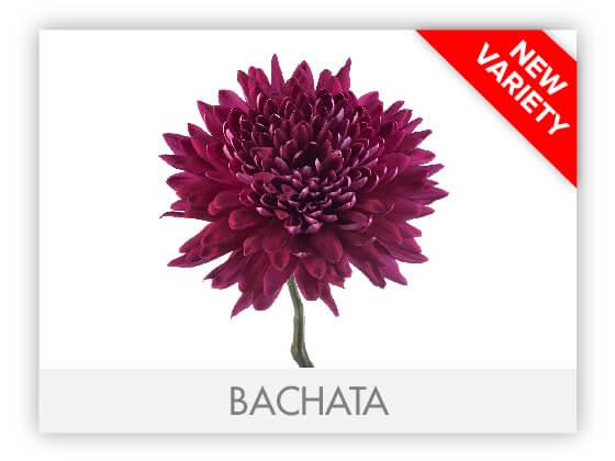BACHATA10