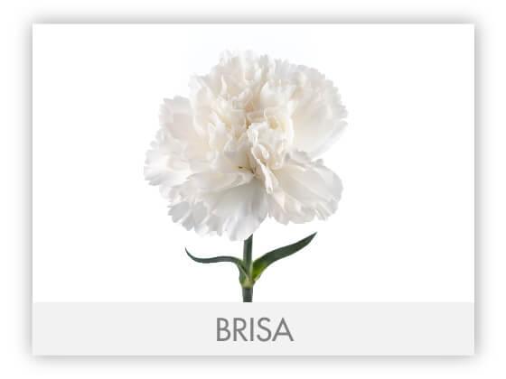 BRISA10