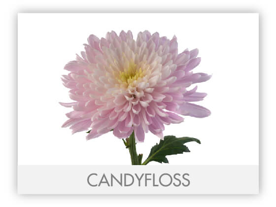 CANDYFLOSS101