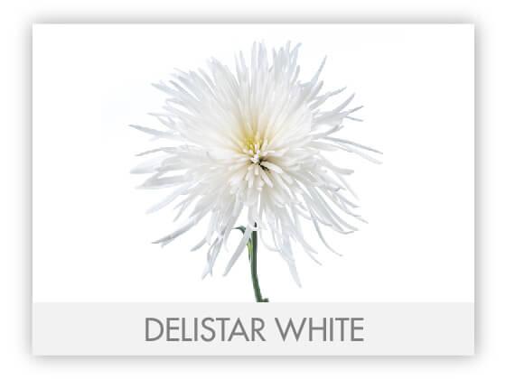 DELISTAR WHITE10