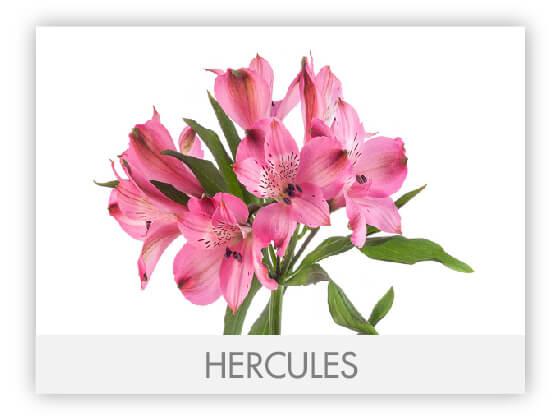 HERCULES10