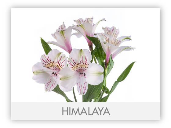 HIMALAYA10