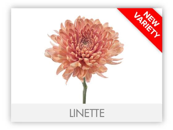 LINETTE10