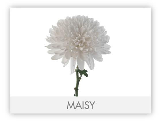 MAISY10