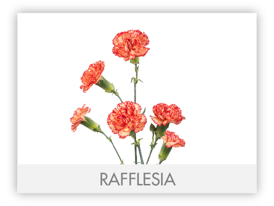 RAFFLESIA10