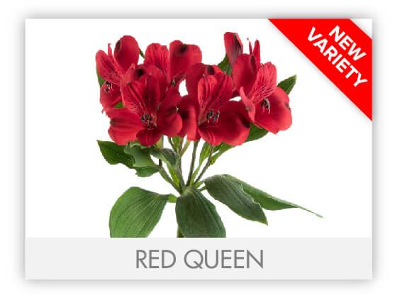 RED QUEEN10
