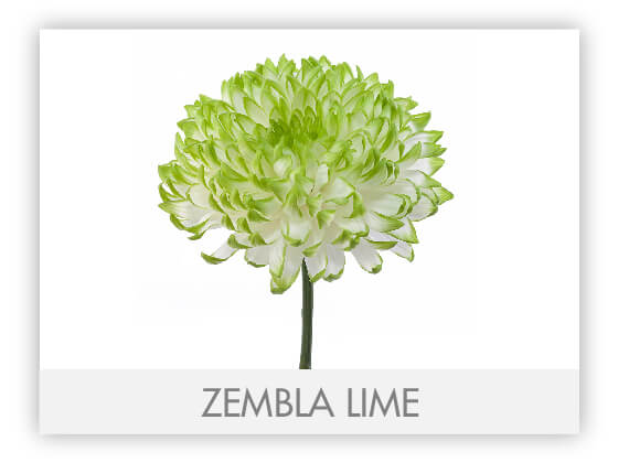 ZEMBLA LIME 10
