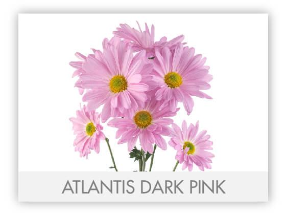 ATLANTIS DARK PINK 10