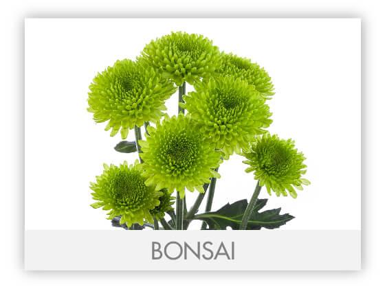 BONSAI10