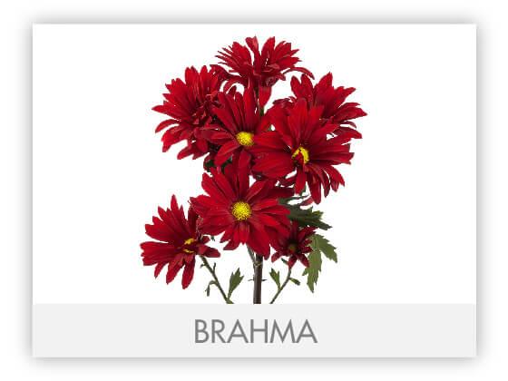BRAHMA10