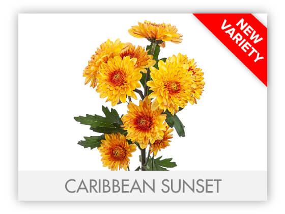 CARIBBEAN SUNSET 102