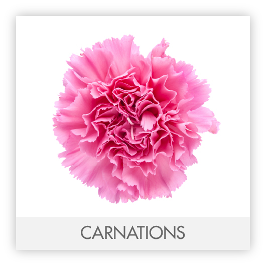 CARNATIONS-100