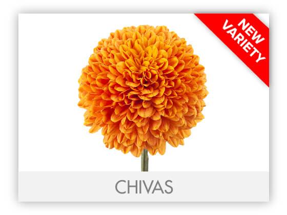 CHIVAS10
