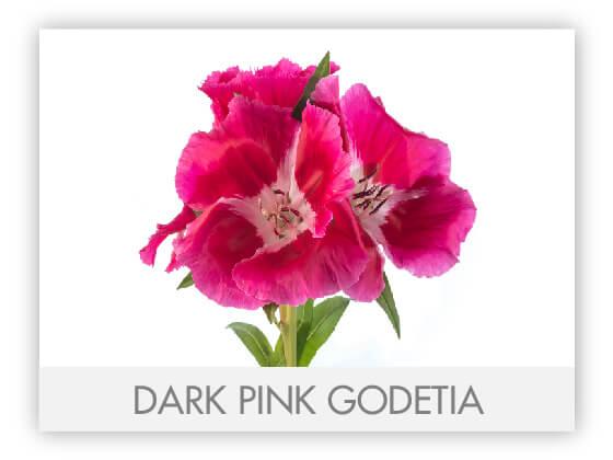 DARK PINK GODETIA 10