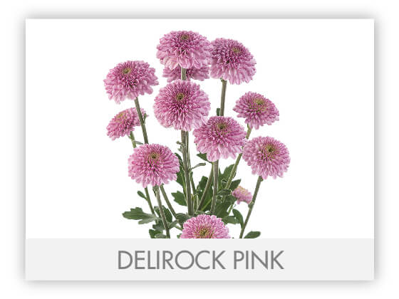 DELIROCK PINK 10