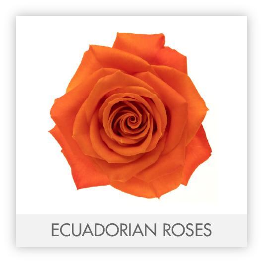 ECUADORIAN ROSES-100