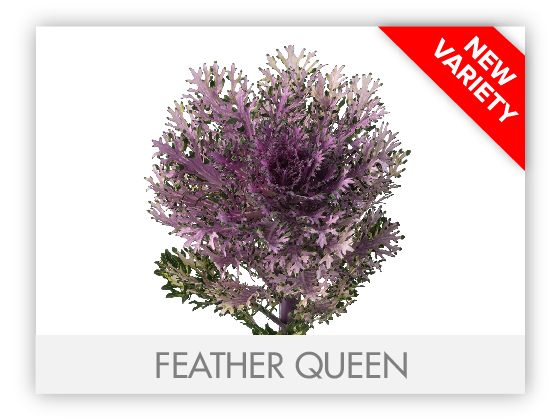 FEATHER QUEEN 10