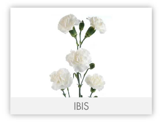 IBIS101