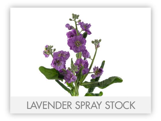 LAVENDER SPRAY STOCK 10