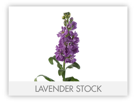LAVENDER STOCK 10