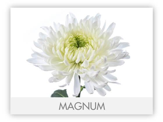 MAGNUM101