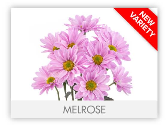 MELROSE102