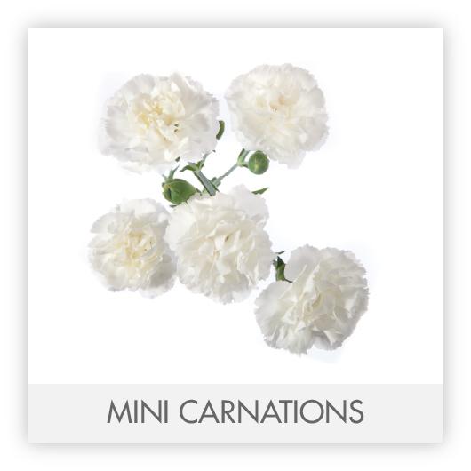 MINI CARNATIONS-100