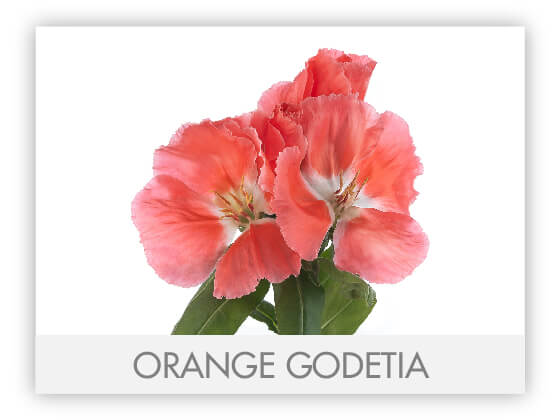 ORANGE GODETIA 10