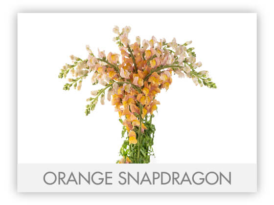 ORANGE SNAPDRAGON 10