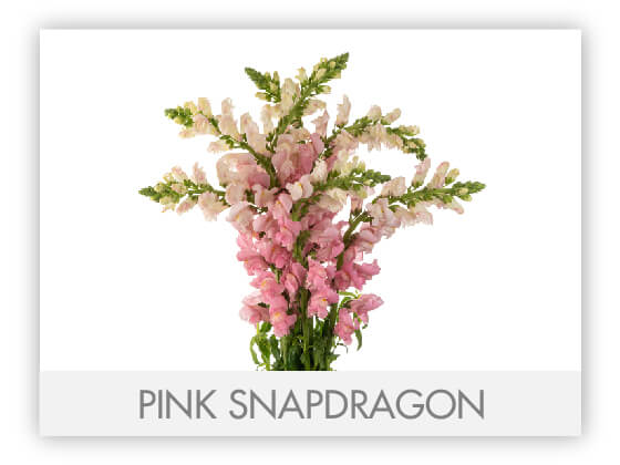 PINK SNAPDRAGON 10