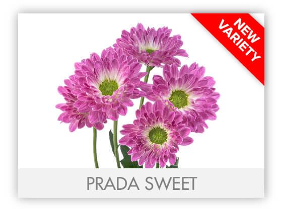 PRADA SWEET 102