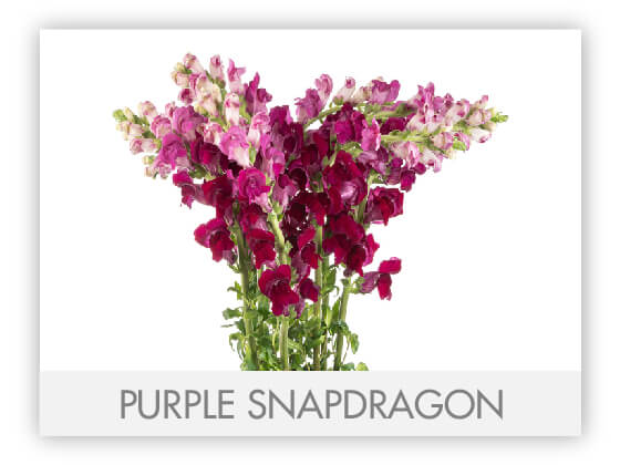 PURPLE SNAPDRAGON 10
