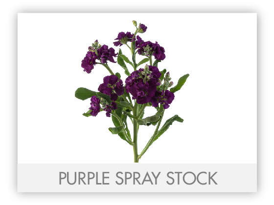 PURPLE SPRAY STOCK 10