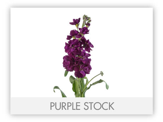 PURPLE STOCK 10