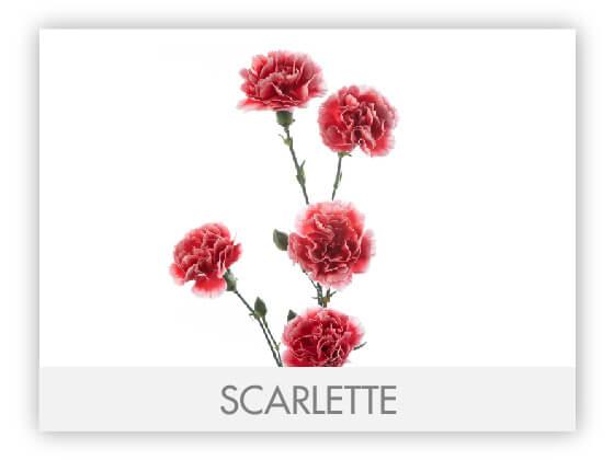 SCARLETTE101