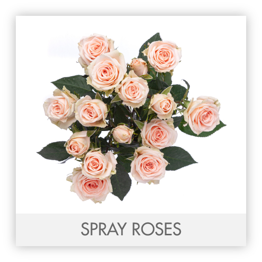 SPRAY ROSES-100
