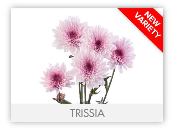 TRISSIA102