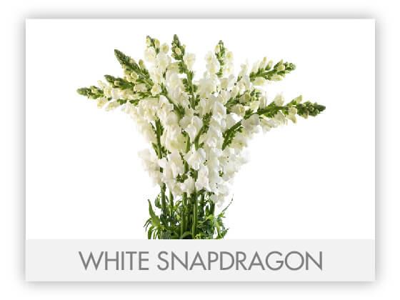 WHITE SNAPDRAGON 10