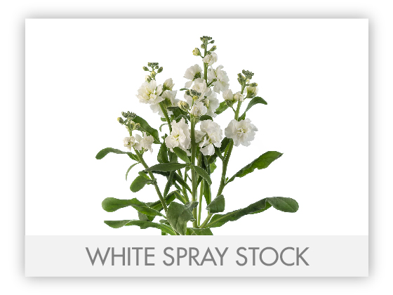 WHITE SPRAY STOCK 10