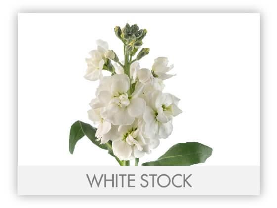 WHITE STOCK 10