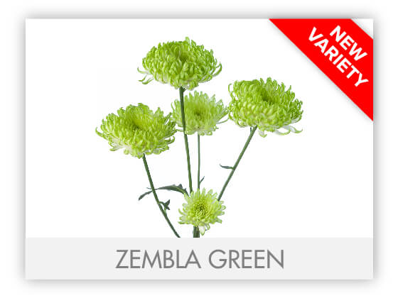 ZEMBLA GREEN102