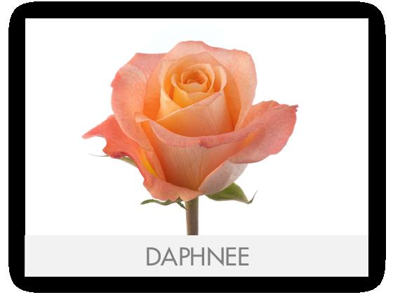 DAPHNEE