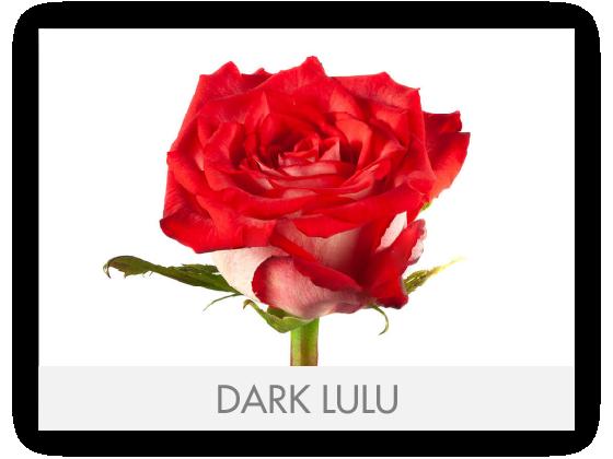 DARK LULU
