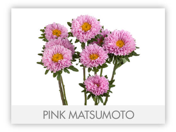 PINK MATSUMOTO