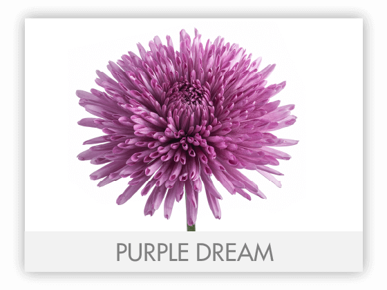 PURPLE DREAM