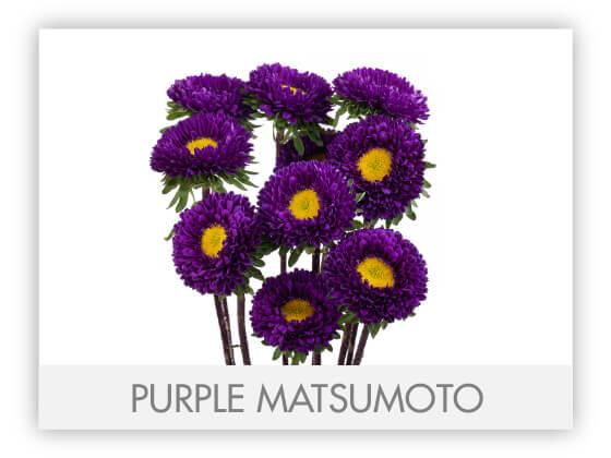 PURPLE MATSUMOTO