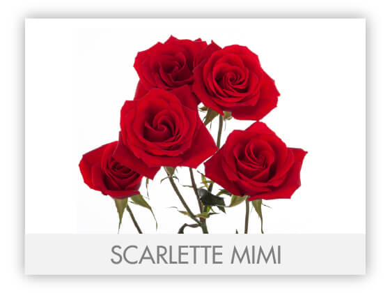 SCARLETTE MIMI